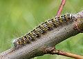 71.025 BF1994 Buff-tip, Phalera bucephala, larva (14792423184).jpg