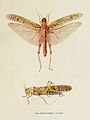 82-Indian-Insect-Life - Harold Maxwell-Lefroy - Acridium-Peregrinum.jpg