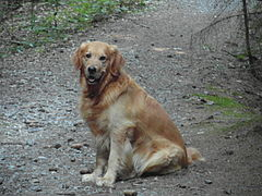 A Golden Retriever-10 (Barras).JPG
