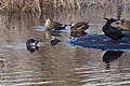 A Northern Lapwing and other birds (31929754660).jpg
