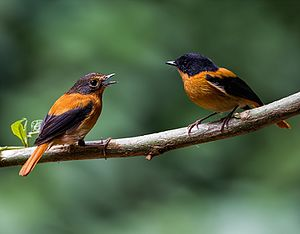 Black-and-orange flycatcher - Image: A Pair of Black and Orange Flycatcher by Antony Grossy