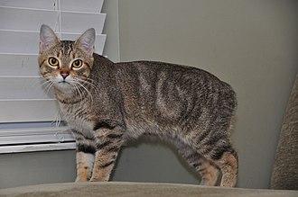 "Manx cat - A ""rumpy"" Manx kitten"