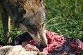 A Wolf Enjoying Dinner (4896648200).jpg