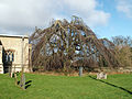 A beech (weeping) at Church of Saint Nicholas, Walcot, Lincolnshire, England 01.JPG