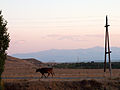 A cow coming home for the night (5062927023).jpg