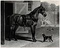 A dog is looking at a horse with blinkers standing outside a Wellcome V0021802.jpg