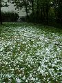A field of hailstones.jpg