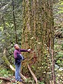 A forest visitor admires an old growth forest on the Mt. Hood National Forest.jpg