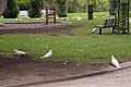 A group of Cacatua galerita at the Victory Memorial Gardens.jpg