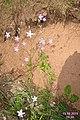 A harebell (NH Bukovec) (22369349572).jpg