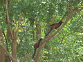 A pair of Greater Coucals (Centropus sinensis).jpg