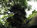 A palm tree at Gibberd Garden Essex England 01.JPG