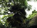 A palm tree at Gibberd Garden Essex England 01.JPG