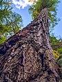 A tall tree reaches for the blue sky. (b9aaab68-b352-4cb8-bfc4-c73f3490ed6a).JPEG