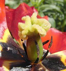 Interno di un tulipano