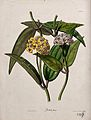 A wax plant (Hoya species); flowering stem. Coloured zincogr Wellcome V0044462.jpg