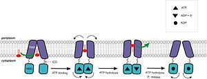 ATP-binding cassette transporter - Proposed mechanism of transport for ABC exporters. This model was based on structural and biochemical studies on MsbA.