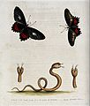 Above, two butterflies; below, a small double-headed snake f Wellcome V0020557.jpg