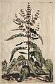 Abraham Munting - Phytographia Curiosa- Lapathum Longifolium Crispum - 1994.146 - Cleveland Museum of Art.jpg