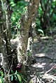Acacia-oviedoensis-(2).jpg