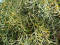 Acacia calamifolia.JPG