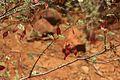 Acacia chariessa04.jpg