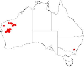 <i>Acacia distans</i>