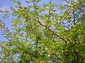 Acacia hebeclada 4c.JPG
