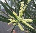 Acacia longifolia 03.jpg
