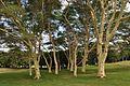 Acacia xanthophloea00.jpg
