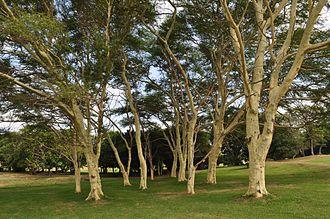 Vachellia xanthophloea - Image: Acacia xanthophloea 00