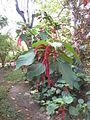 Acalypha hispida - Jardin d'Éden 2.JPG