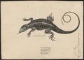 Acanthodactylus vulgaris - 1700-1880 - Print - Iconographia Zoologica - Special Collections University of Amsterdam - UBA01 IZ12400107.tif