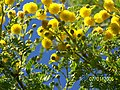 Acasia africana en Flor Chile - panoramio.jpg
