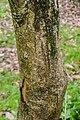 Acer henryi in Hackfalls Arboretum (1).jpg