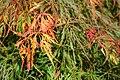 Acer palmatum 'Waterfall' JPG1.jpg