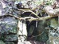 Acer pseudoplatanus roots penetrating rock, Cunningham Watt Park, Stewarton, Scotland.jpg