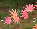 Acer shirasawanum 'Autumn Moon' in Auckland Botanic Gardens 02.jpg
