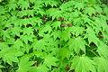 Acer sieboldianum - Morris Arboretum - DSC00313.JPG
