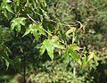 Acer sinense in Christchurch Botanic Gardens 04.jpg