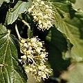 Acer tataricum inflorescence.jpg