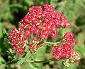 Achillea millefolium Paprika.jpg