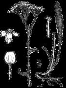 Achillea millefolium occidentalis drawing.png