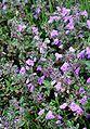 Acinos Alpinus ENBLA05.jpg