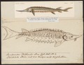 Acipenser ruthenus - 1700-1880 - Print - Iconographia Zoologica - Special Collections University of Amsterdam - UBA01 IZ14400015.tif