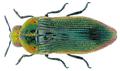 Acmaeodera viridaenea (Degeer, 1778).png