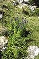 Aconitum napellus plant (16).jpg