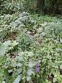 Aconitum variegatum subsp. variegatum sl14.jpg