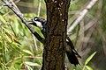 Acorn Woodpecker Huachuca Canyon Sierra Vista AZ 2019-07-27 09-28-27-2 (48413240011).jpg