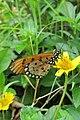 Acraea violae - Tawny Coster at Peravoor (2).jpg